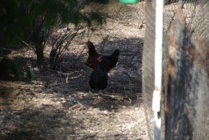Quand il y avait des poules à Aix !